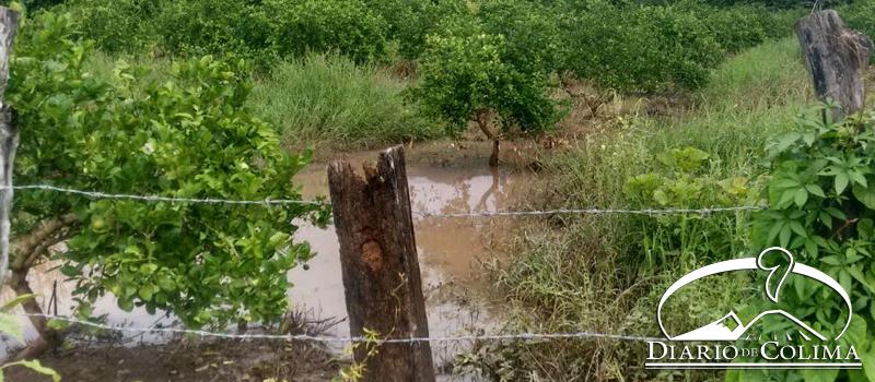 En el ejido El Campanario, de Armería, al menos 10 parcelas de limón están inundadas por las últimas lluvias; aun se pueden cuantificar los daños, informó Cecilio Gutiérrez, director de Desarrollo Rural.