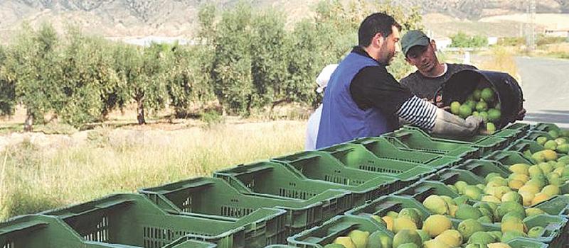Para exportar limón mexicano a mercados asiáticos y europeos, se realizan los primeros análisis técnicos y económicos, señaló la Coeplim.